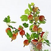Gooseberry twigs in a glass of water
