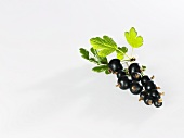 Blackcurrents with leaves