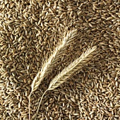 Ears of rye on rye grains