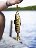 Hand hält frisch gefangenen Fisch am Angelhaken
