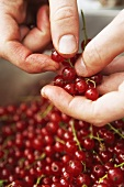 Hand stripping redcurrants from their stalks