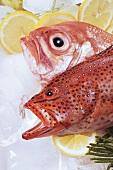 Grouper und Red Snapper with sliced lemon