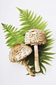 Two fresh parasol mushrooms on fern fronds