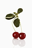 Pair of sour cherries with leaves