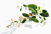 Lemonysop,Mexican hyssop, Agastache mexicana