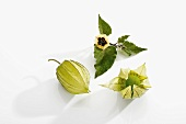 Unripe physalis with flower and leaves
