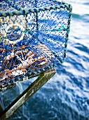 Freshly caught Norway lobsters in net