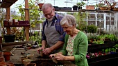 Elderly couple planting young plants in greenhouse