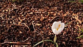 A white crocus in the open air