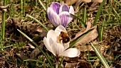 Crocuses with a bumble-bee in the open air