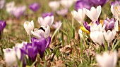 Crocuses with bumble-bee in the open air