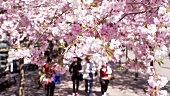 People strolling beneath cherries trees in blossom