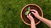 Planting a young plant in a pot