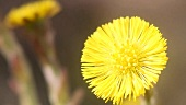 Coltsfoot flowers (close-up)