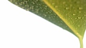 Green leaf with drops of water (close-up)