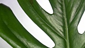 Philodendron leaf (close-up)