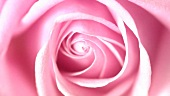 Eine rosa Rose (Close Up)