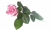Eine rosa Rose mit Wassertropfen (Close Up)