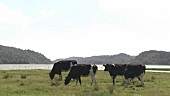 Cows grazing in a pasture by a lake