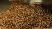 Tipping grains of wheat out of a sack