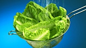Washing romaine lettuce leaves in a sieve