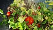 Gemischten Blattsalat und Tomaten waschen