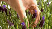 Hand picking a lavender flower