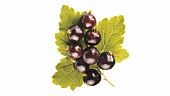 Rotating blackcurrants with leaf