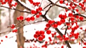 Red winter berries covered with snow