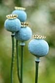 Poppy seeds, close-up