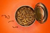 Mealworms in tin, (Tenebrio molitor linnaeus) close-up