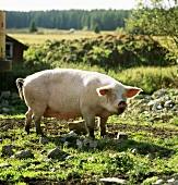A pig in a field