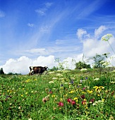 A cow in a flowery meadow