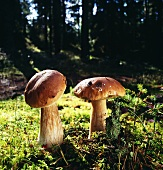 Two ceps in forest
