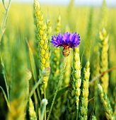 Cornflower in wheat field