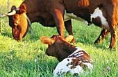 Kalb liegt auf der Wiese mit Kuh im Hintergrund