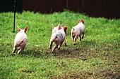 Four piglets running across a field