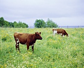 Two cows in a pasture