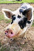 Linderöd pig from Sweden
