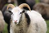 Swedish sheep