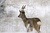Young roebuck in snow