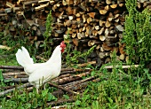 White hen on a woodpile