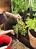 Boy transplanting a tomato plant