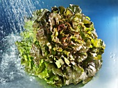 Batavia lettuce with water