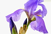 Iris (close-up)