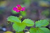 Flowering raspberry plant
