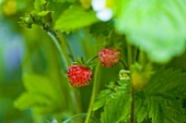 Strawberries on the plant