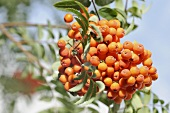 Rowan berries on branch