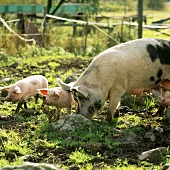 Sow and piglets on a farm in Sweden