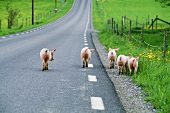 Domestic pigs on a road in Sweden